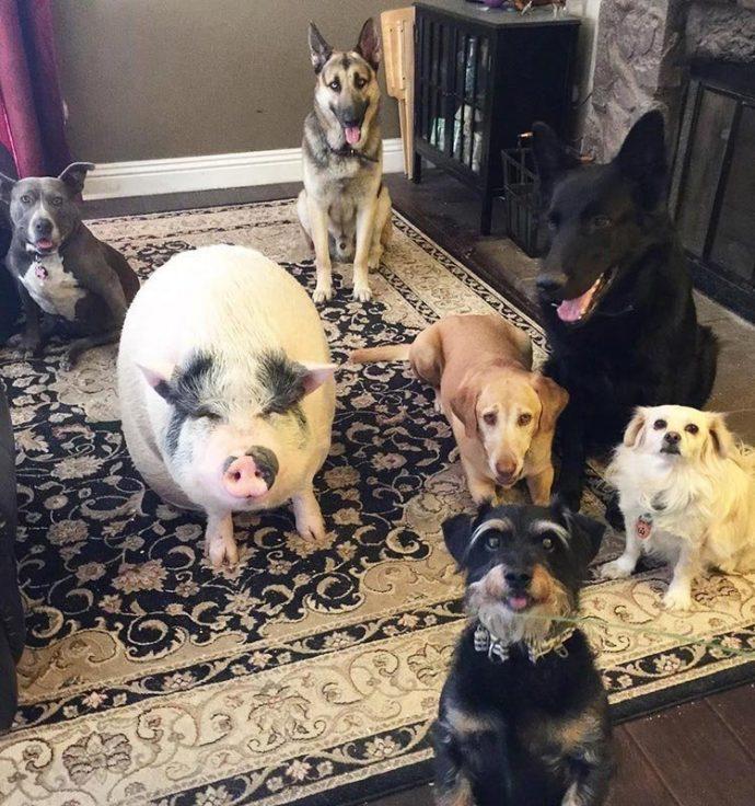 Свин - предводитель собак! Смешной шарик на четырёх копытцах живёт в собственной будке и умеет улыбаться! :) рис 3
