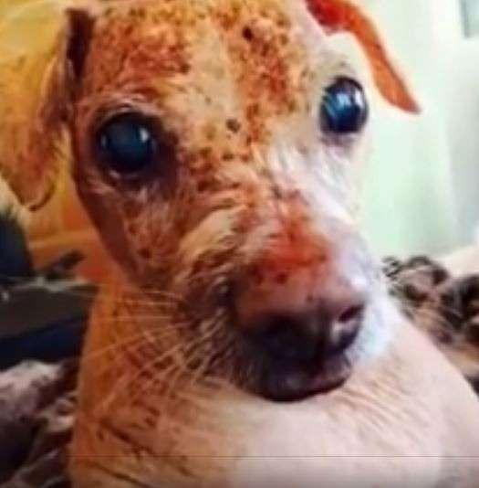 33 несчастья этого пса уже не оставляли надежды... Но врачи вновь вдохнули в него жизнь! рис 4
