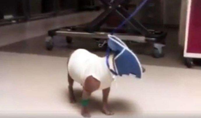 33 несчастья этого пса уже не оставляли надежды... Но врачи вновь вдохнули в него жизнь! рис 5