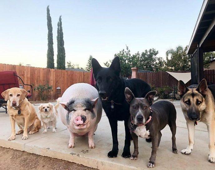 Свин - предводитель собак! Смешной шарик на четырёх копытцах живёт в собственной будке и умеет улыбаться! :) рис 4