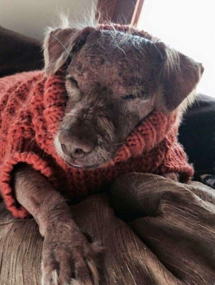 33 несчастья этого пса уже не оставляли надежды... Но врачи вновь вдохнули в него жизнь! рис 7