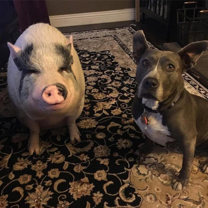 Свин - предводитель собак! Смешной шарик на четырёх копытцах живёт в собственной будке и умеет улыбаться! :) рис 8