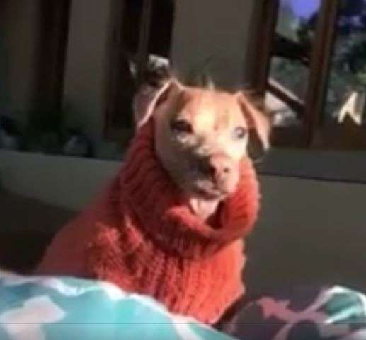 33 несчастья этого пса уже не оставляли надежды... Но врачи вновь вдохнули в него жизнь! рис 8