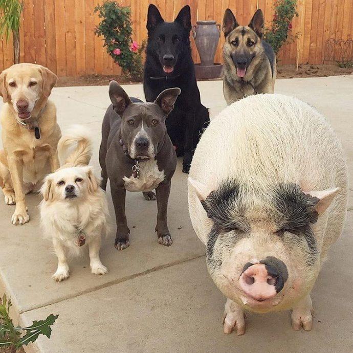 Свин - предводитель собак! Смешной шарик на четырёх копытцах живёт в собственной будке и умеет улыбаться! :) рис 11