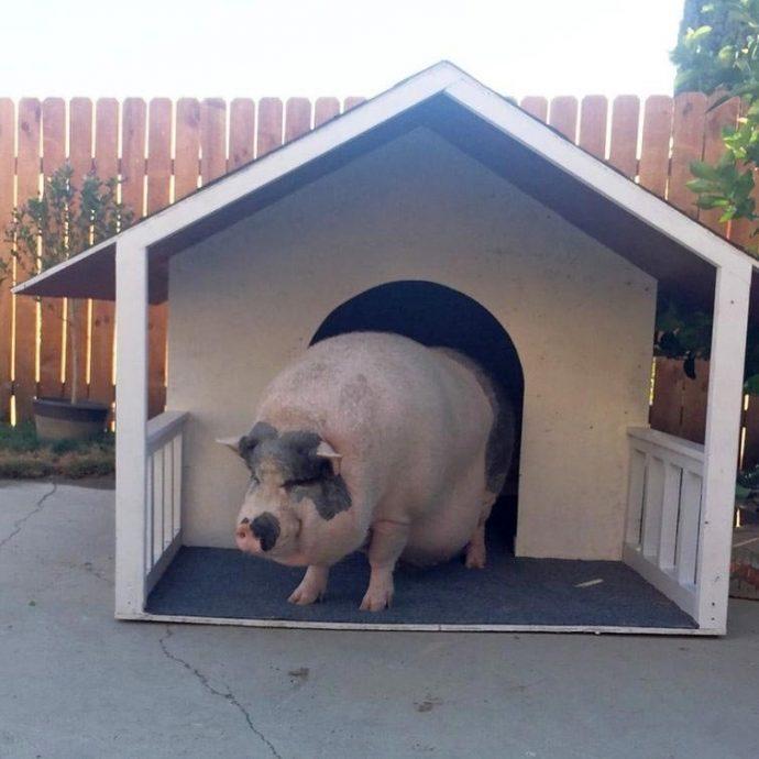 Свин - предводитель собак! Смешной шарик на четырёх копытцах живёт в собственной будке и умеет улыбаться! :) рис 9