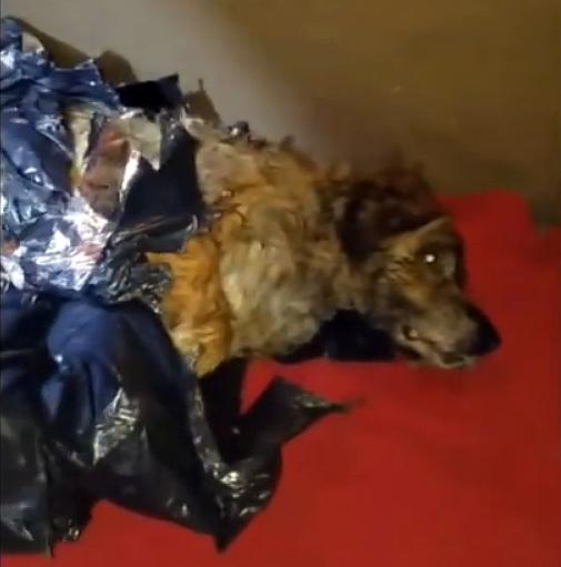 Жизнь... в мусорном пакете! Этот пёс пролежал неделю связанным, без возможности дышать и подать голос... Но он ВЫЖИЛ!