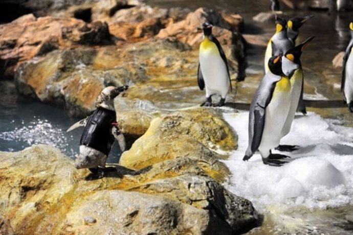 Пингвин облысел, больше не мог плавать и стал не нужен друзьям... И тогда ветеринары придумали ему УНИКАЛЬНЫЙ гидрокостюм! :) рис 2