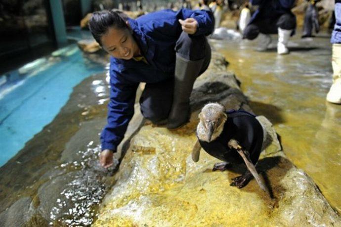 Пингвин облысел, больше не мог плавать и стал не нужен друзьям... И тогда ветеринары придумали ему УНИКАЛЬНЫЙ гидрокостюм! :) рис 3