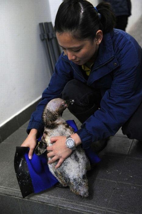 Пингвин облысел, больше не мог плавать и стал не нужен друзьям... И тогда ветеринары придумали ему УНИКАЛЬНЫЙ гидрокостюм! :) рис 4