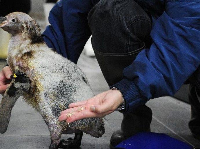 Пингвин облысел, больше не мог плавать и стал не нужен друзьям... И тогда ветеринары придумали ему УНИКАЛЬНЫЙ гидрокостюм! :)