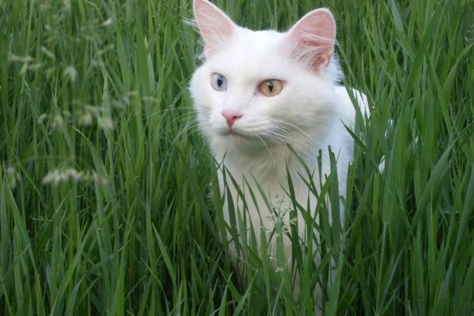 Дикие, но симпатиШные! Водоплавающие кошки турецкого озера Ван живут как хотят: дружат с лисами, купаются и рыбачат!