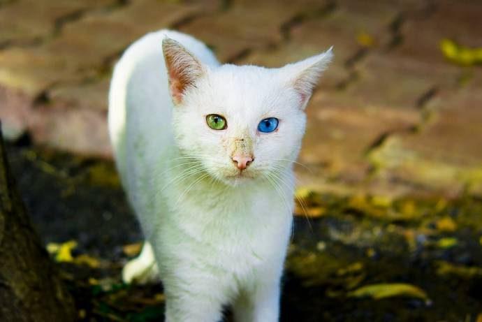 Дикие, но симпатиШные! Водоплавающие кошки турецкого озера Ван живут как хотят: дружат с лисами, купаются и рыбачат! рис 5