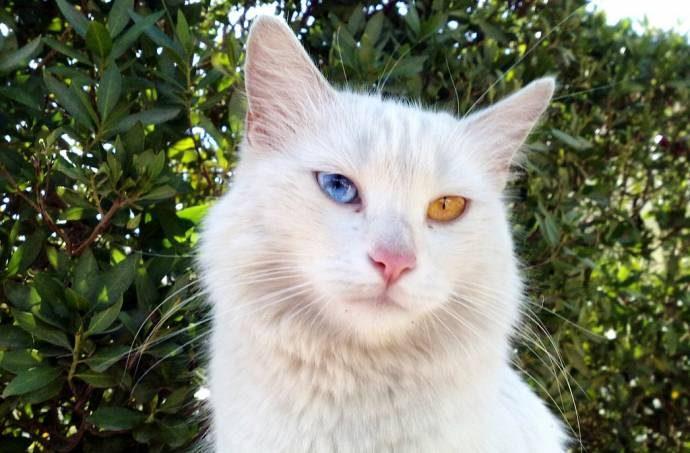 Дикие, но симпатиШные! Водоплавающие кошки турецкого озера Ван живут как хотят: дружат с лисами, купаются и рыбачат! рис 7