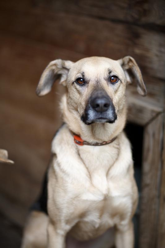 Кареглазая Ася - весёлый дружок, непоседа и самая верная в мире собака! Не ваша ли? рис 2