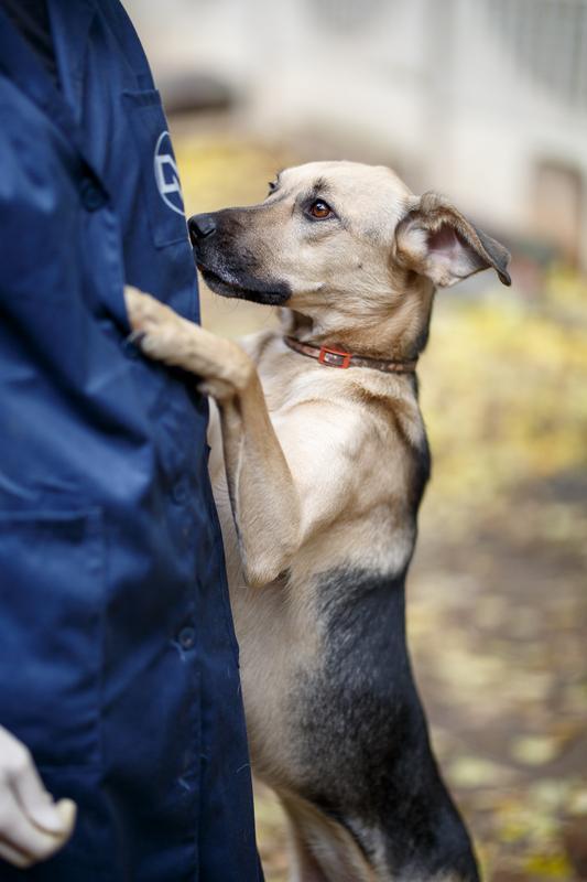 Кареглазая Ася - весёлый дружок, непоседа и самая верная в мире собака! Не ваша ли? рис 3