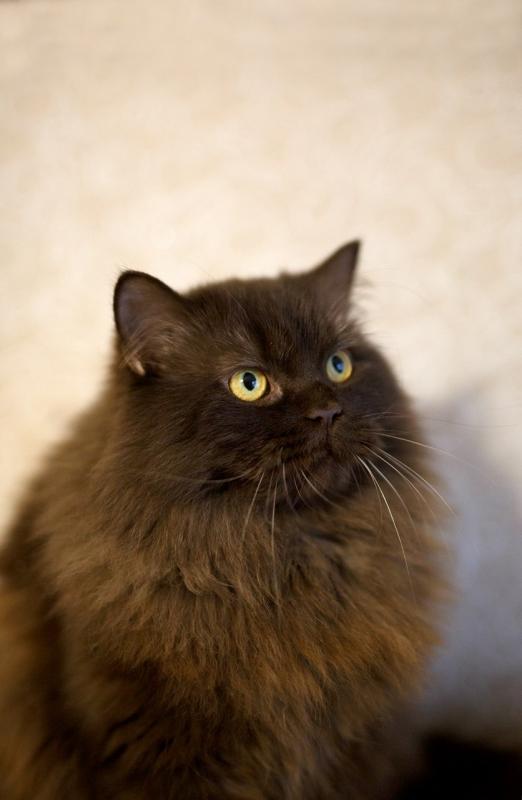 Аристократка британско-персидских кровей! Кошка Урсула знает себе цену, будет знать и вашу! ) рис 2
