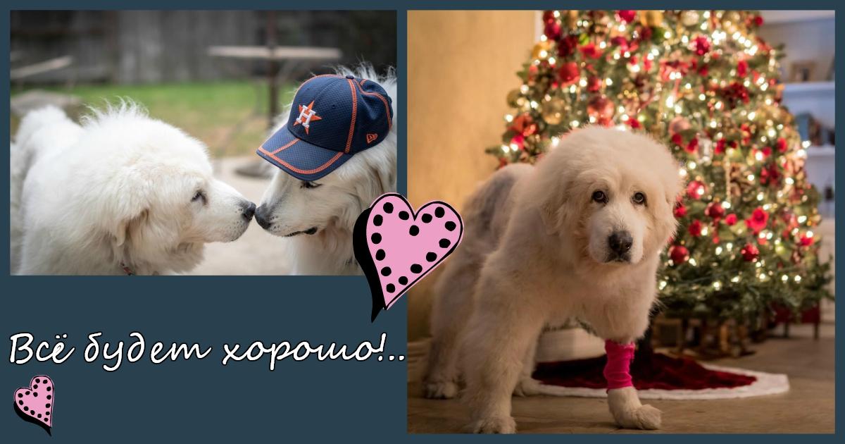 """""""Рождественское чудо для Софи"""". Собака справилась с угрозой рака благодаря своей прекрасной четверолапой семье!"""