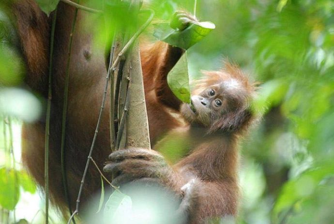 """""""Люди, попробуйте травку!"""" Орангутанги настолько умны, что применяют и показывают учёным лечебные растения! рис 2"""