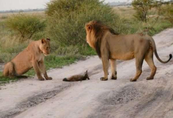 Материнский инстинкт - силища! Грозная львица не дала своему прайду загрызть хромого лисёнка...
