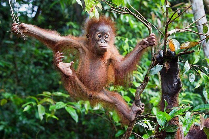 """""""Люди, попробуйте травку!"""" Орангутанги настолько умны, что применяют и показывают учёным лечебные растения! рис 3"""