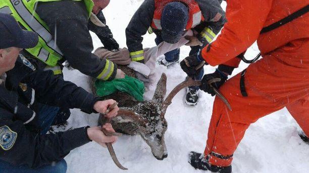 «Больше не могу...» Спасение легкомысленного оленя, провалившегося под лёд! рис 2
