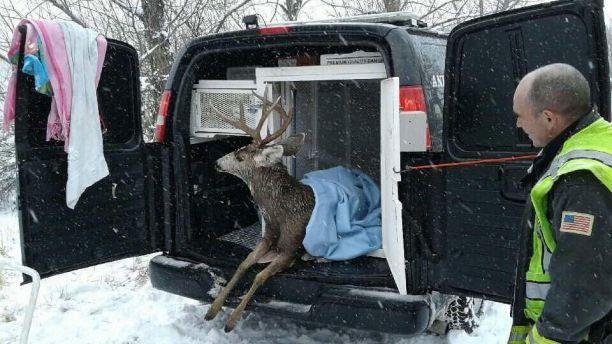 «Больше не могу...» Спасение легкомысленного оленя, провалившегося под лёд! рис 3