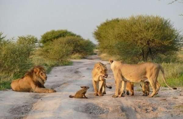 Материнский инстинкт - силища! Грозная львица не дала своему прайду загрызть хромого лисёнка... рис 2