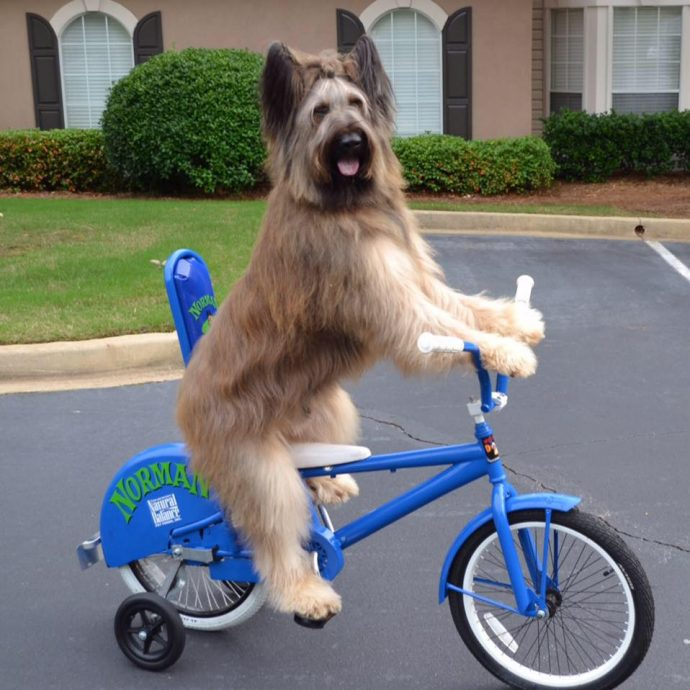 Норман - самый талантливый пес в мире! Но его яркая жизнь недавно омрачилась, и он нуждается в помощи...