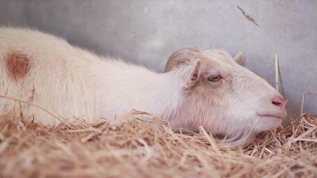 2230-NTD-Goat-640x359