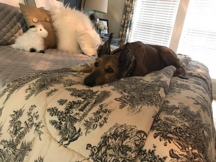 Норман - самый талантливый пес в мире! Но его яркая жизнь недавно омрачилась, и он нуждается в помощи... рис 4