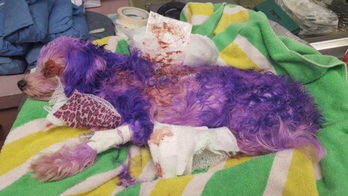 """""""А мне фиолетово!"""" Тот, кто покрасил собачку в ядовитый цвет, не представлял, что будет дальше! рис 2"""