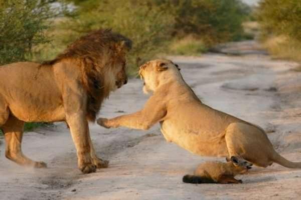 Материнский инстинкт - силища! Грозная львица не дала своему прайду загрызть хромого лисёнка... рис 3