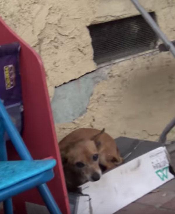 """""""Мой дом - коробка""""... Малышка чихуахуа прожила на улице долгих пять месяцев!"""