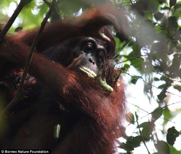 """""""Люди, попробуйте травку!"""" Орангутанги настолько умны, что применяют и показывают учёным лечебные растения!"""