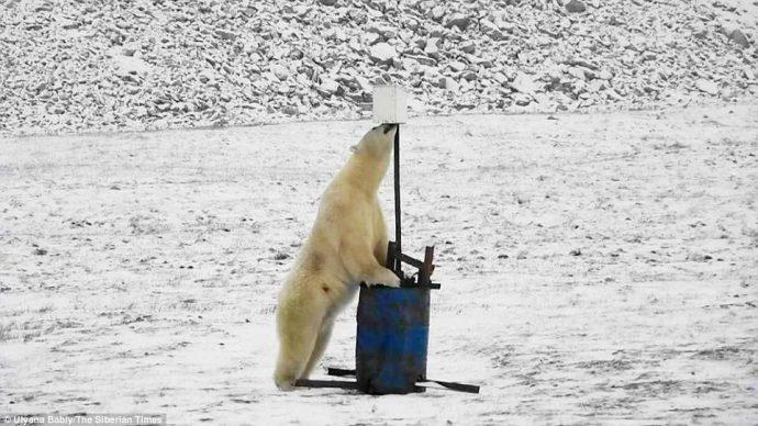 """""""А что это здесь у вас?"""" Любопытный белый медведь набрёл на монитор погоды в снегах Арктики... :) рис 2"""