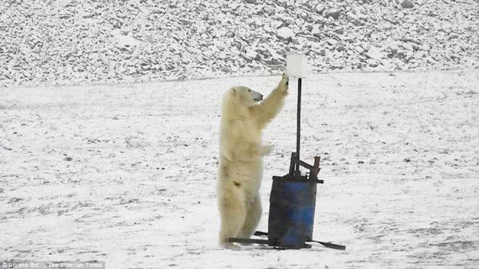 """""""А что это здесь у вас?"""" Любопытный белый медведь набрёл на монитор погоды в снегах Арктики... :) рис 3"""