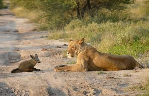 Материнский инстинкт - силища! Грозная львица не дала своему прайду загрызть хромого лисёнка... рис 5