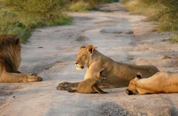 Материнский инстинкт - силища! Грозная львица не дала своему прайду загрызть хромого лисёнка... рис 6