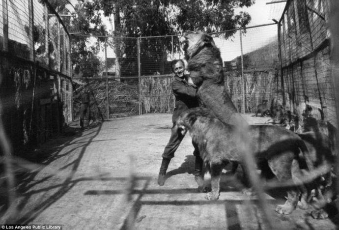 Их выращивали для голливудских фильмов! Редчайшие фото львиной фермы прошлого века рис 8