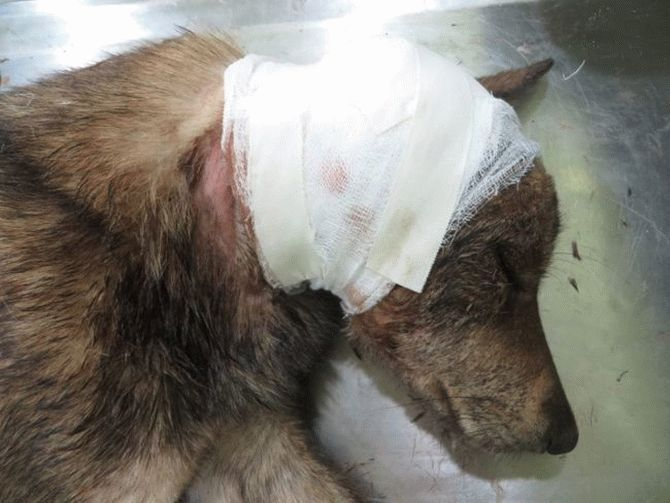 Эта пара не ждёт благодарности... Она просто спасает неприкаянных собак в Непале! рис 7