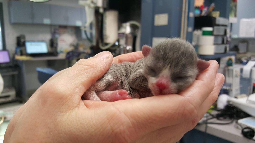 """Маленький кот по прозвищу """"Мышонок"""" родился совсем не обычным... И вот в кого он вырос сейчас!"""