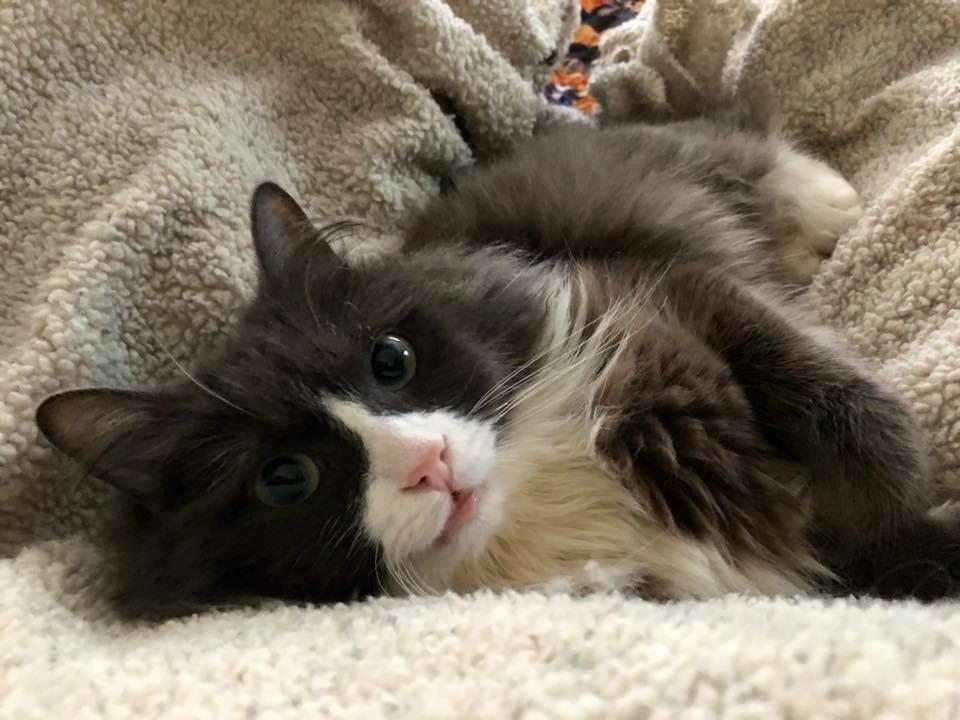"""Маленький кот по прозвищу """"Мышонок"""" родился совсем не обычным... И вот в кого он вырос сейчас! рис 12"""