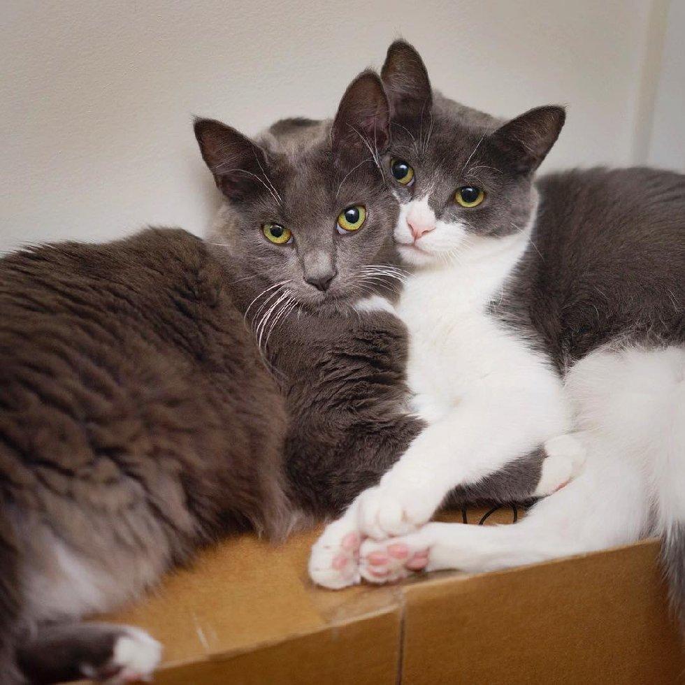 """""""Мы спасаем самых слабых..."""" У этих красивейших кошек - одно сердце на двоих! рис 12"""