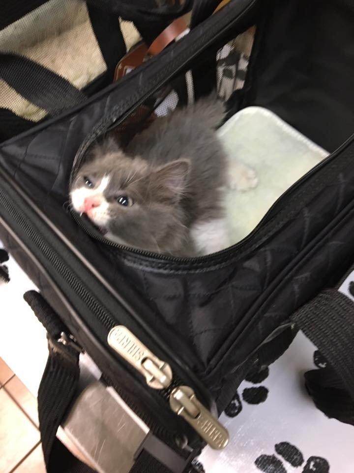 """Маленький кот по прозвищу """"Мышонок"""" родился совсем не обычным... И вот в кого он вырос сейчас! рис 5"""