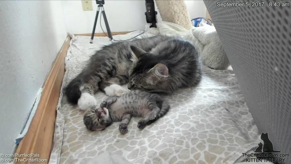 Эта кошка удивила всех! О таких странных сюрпризах беременности вы ещё не слышали...) рис 6