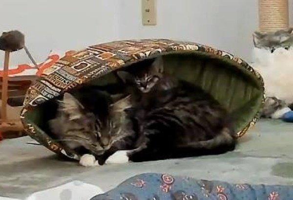 Эта кошка удивила всех! О таких странных сюрпризах беременности вы ещё не слышали...) рис 8