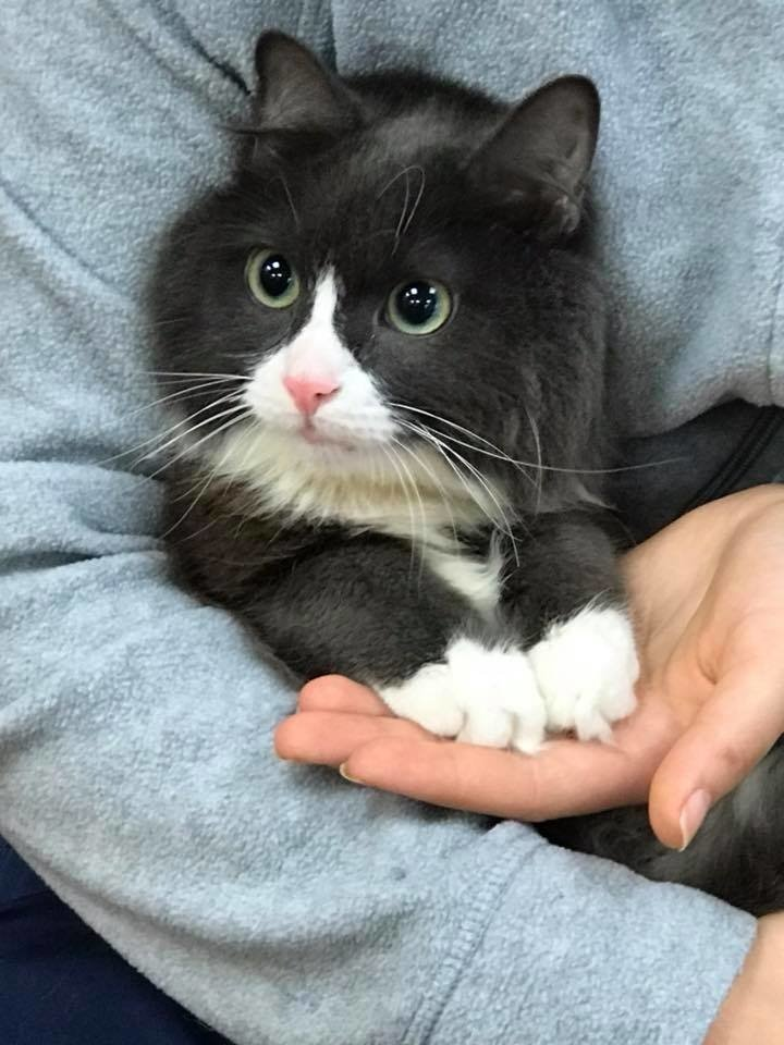 """Маленький кот по прозвищу """"Мышонок"""" родился совсем не обычным... И вот в кого он вырос сейчас! рис 9"""