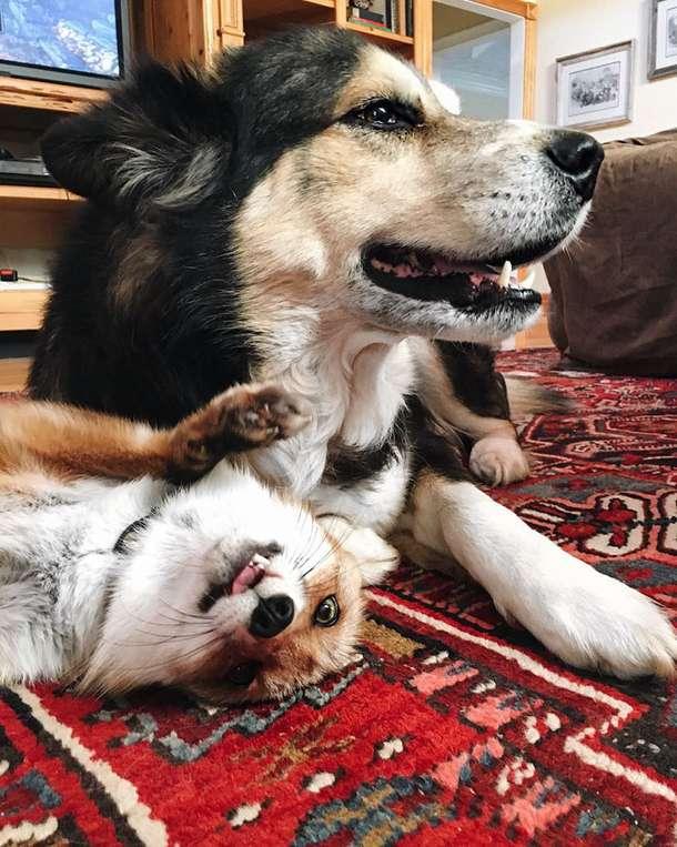 """""""Хе-хе, я влюбилась!"""" Знаменитая лиса Джунипер замучила нового друга своим вниманием! ) рис 7"""