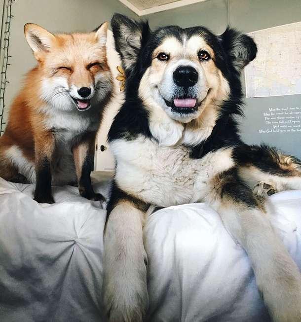 """""""Хе-хе, я влюбилась!"""" Знаменитая лиса Джунипер замучила нового друга своим вниманием! )"""