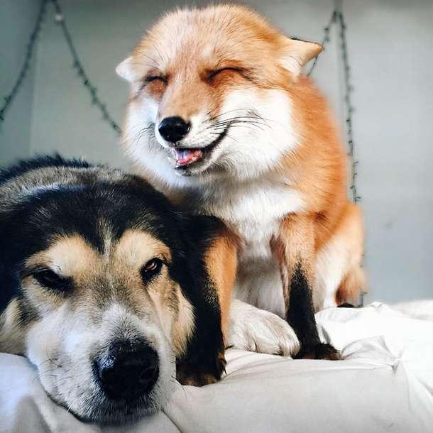 """""""Хе-хе, я влюбилась!"""" Знаменитая лиса Джунипер замучила нового друга своим вниманием! ) рис 4"""